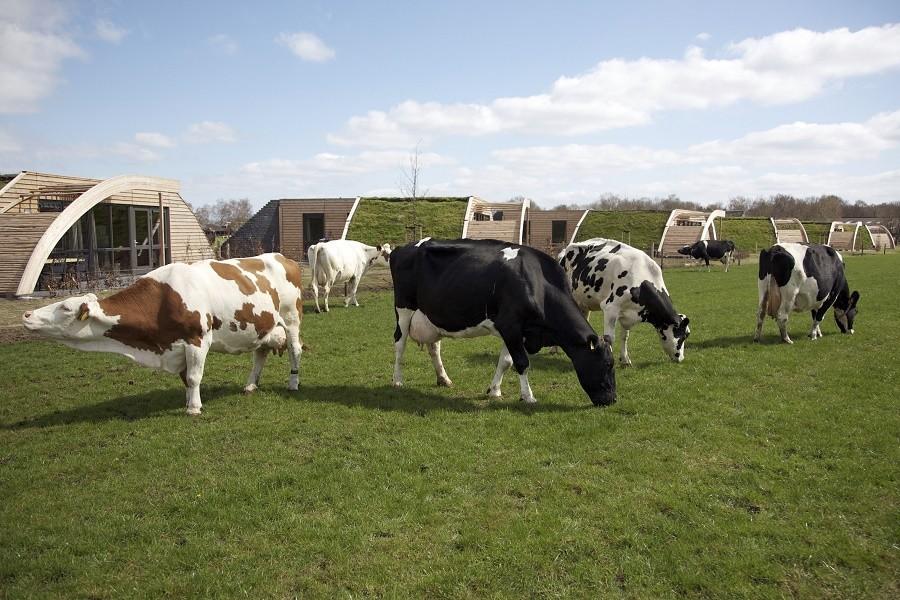 Koe in de kost in Heeten, Nederland koeien en grondulows Koe in de Kost  30pluskids image gallery
