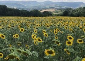 Case Leonori in Le Marche, Italie zonnebloemen veld 7 Agriturismo Case Leonori 30pluskids
