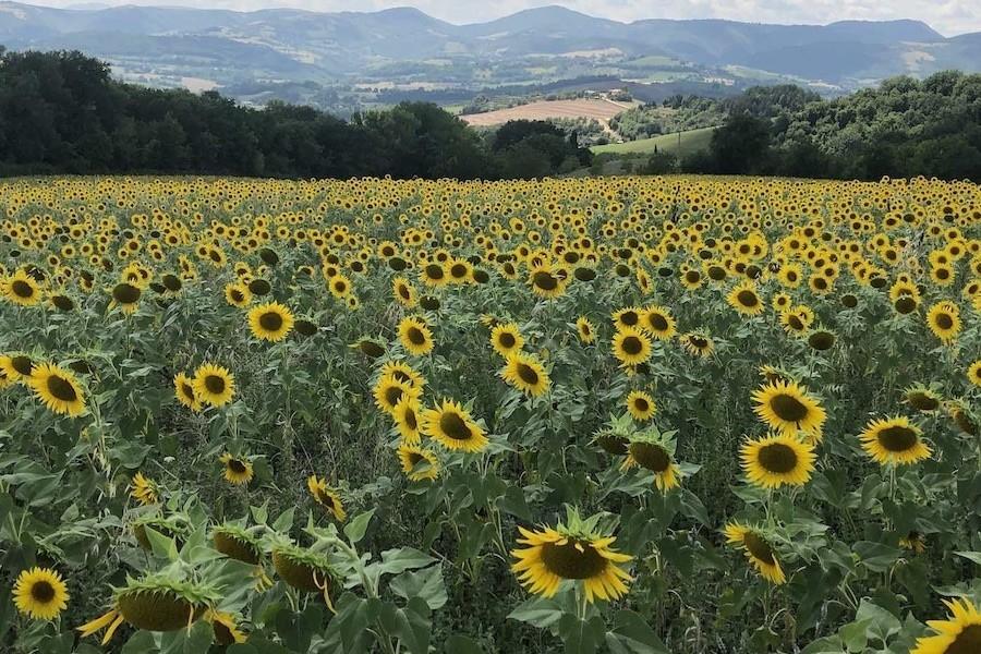 Case Leonori in Le Marche, Italie zonnebloemen veld 7 Agriturismo Case Leonori 30pluskids image gallery