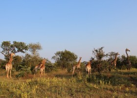 Homes of Africa in Hoedspruit, Zuid-Afrika veel giraffen (1) Homes of Africa vakantiehuizen 30pluskids