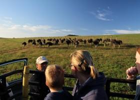 Riksja Family rondreis Zuid-Afrika struisvogels Riksja Family Zuid-Afrika 30pluskids