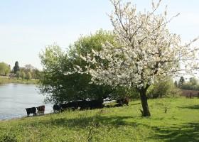 Erfgoedlogies d'Ouffenhoff in Limburg, Nederland koeien in het water Erfgoedlogies d'Ouffenhoff 30pluskids